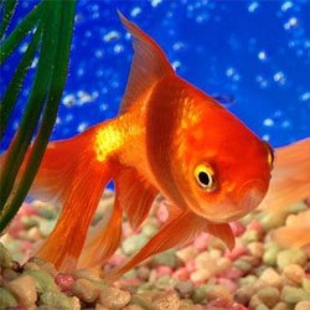 17 mejores ideas sobre peces de agua dulce en pinterest for Mejores peces para acuario