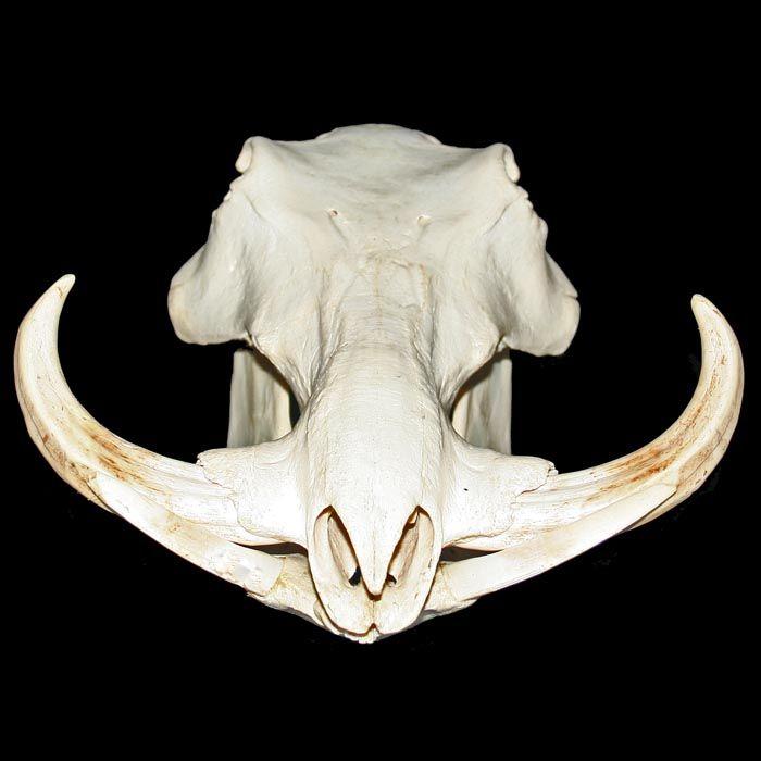 Warthog (Phacochoerus africanus sundevallii) Africa-1539