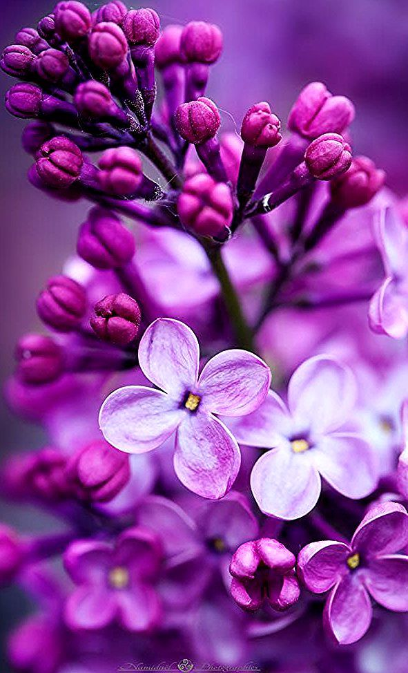 Purple Lilac By Cecile Martin Photo 70433457 500px Purple Flowers Wallpaper Flower Phone Wallpaper Types Of Purple Flowers