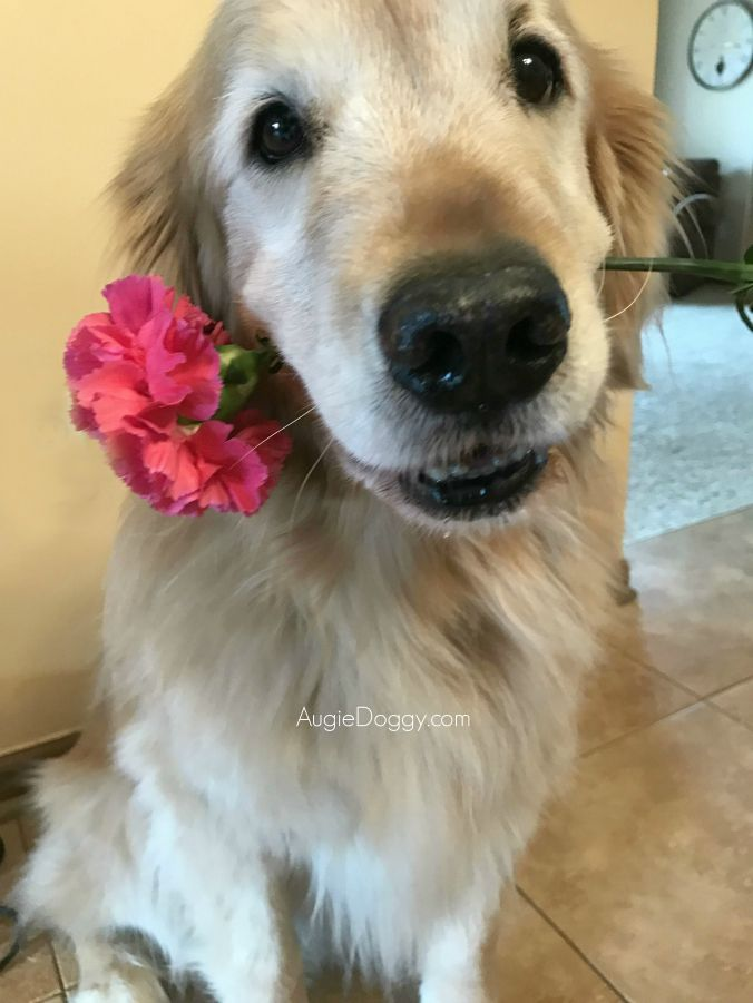 This Is For The Ladies 3 Goldenretriever Dog Cute Animals