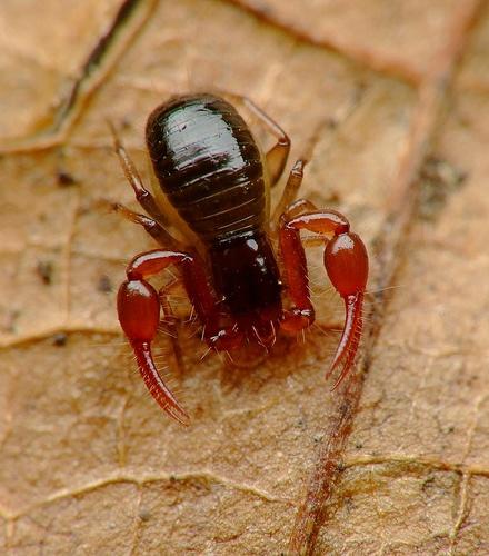neobisium muscorum falso escorpi n cien invertebrados f cilmente reconocibles pinterest. Black Bedroom Furniture Sets. Home Design Ideas