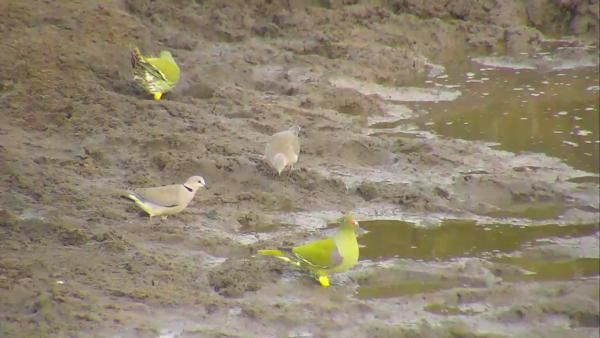African Green Pigeons and Cape Turtle Doves - May 15 2016 - 7:47am   Africam
