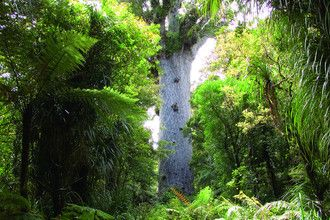 Tane Mahuta, the largest kauri tree in the world, in the Waipoua Forest