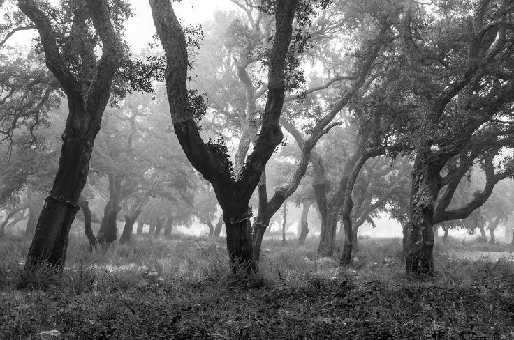 Artelatzak (Cork trees)- Sugherete nel mezzo dell'isola di Sardegna. Era mattina nebbiosa e gocce d'acqua sono stati ammucchiati boschetti. Sughere Uztiaketa spariscono. Si tratta di una foresta di sughero nel cuore della Sardegna. La mattina era nebbioso e le gocce d'acqua cespugli raccolti. I tronchi mostrano i segni della raccolta del sughero. by Aingura  on 500px