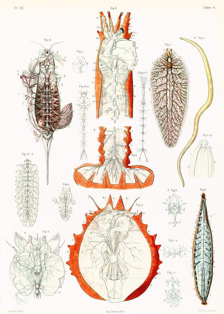 29X40cm Système nerveux des invertébrés, Anatomie Animale, Reproduction Planche Anatomique Arthropodes, de la boutique sofrenchvintage sur Etsy