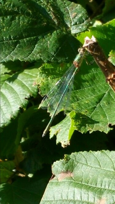 Libelle. Dragonfly.