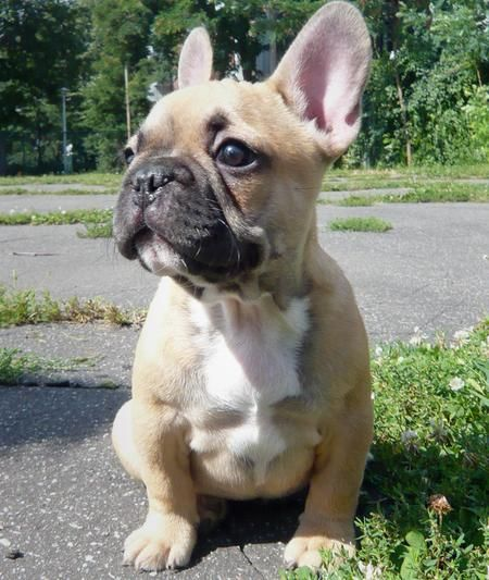Puppy french bulldog ears
