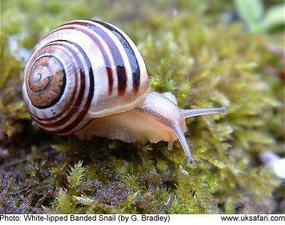 Banded Snails - Cepaea nemoralis - Cepaea hortensis - UK Safari