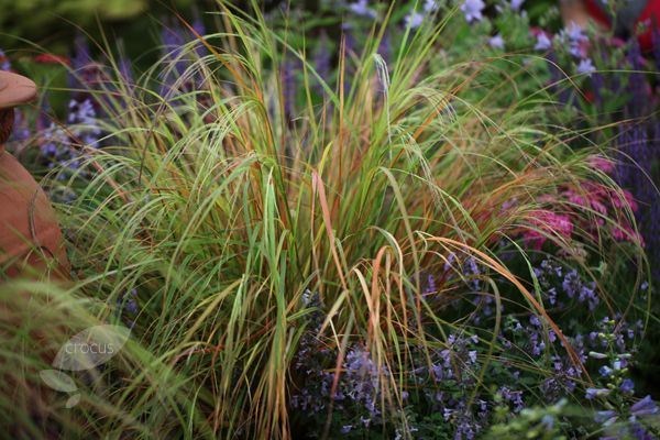 One of the best and most versatile evergreen grasses, this will thrive in sun or shade, and glows shades of copper, gold and bronze in the autumn, hence its common name, Pheasant's Tail Grass. It has a soft, arching habit, so plant it among shrubs for textural contrast, or in a mixed or herbaceous border.