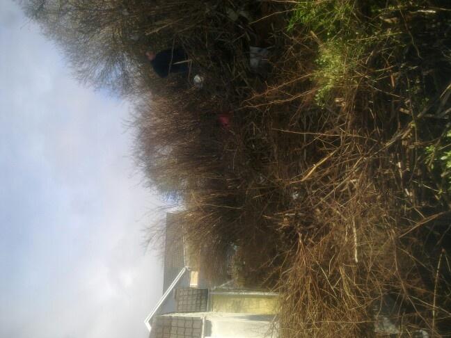 Japanese knotweed dead stems
