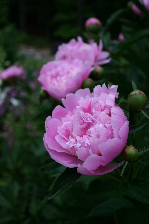 Grow peony flowers and learn tips for successfully growing peonies.