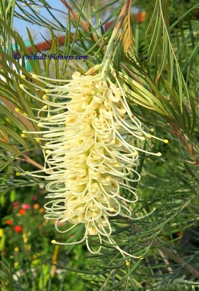 Grevillea whiteana, also known as Mundubbera Grevillea, is an erect shrub or tree which is endemic to Queensland. It grows to a height of between 2 and 9 metres in height. The species occurs in south-east Queensland from Boondooma northward to Mundubbera and also on Mt Walsh near Biggenden