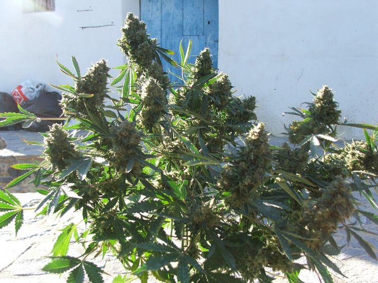 7 Disadvantages to Autoflowering Seeds http://stuffstonerslike.com/2014/09/16/autoflowering-seeds-disadvantages/