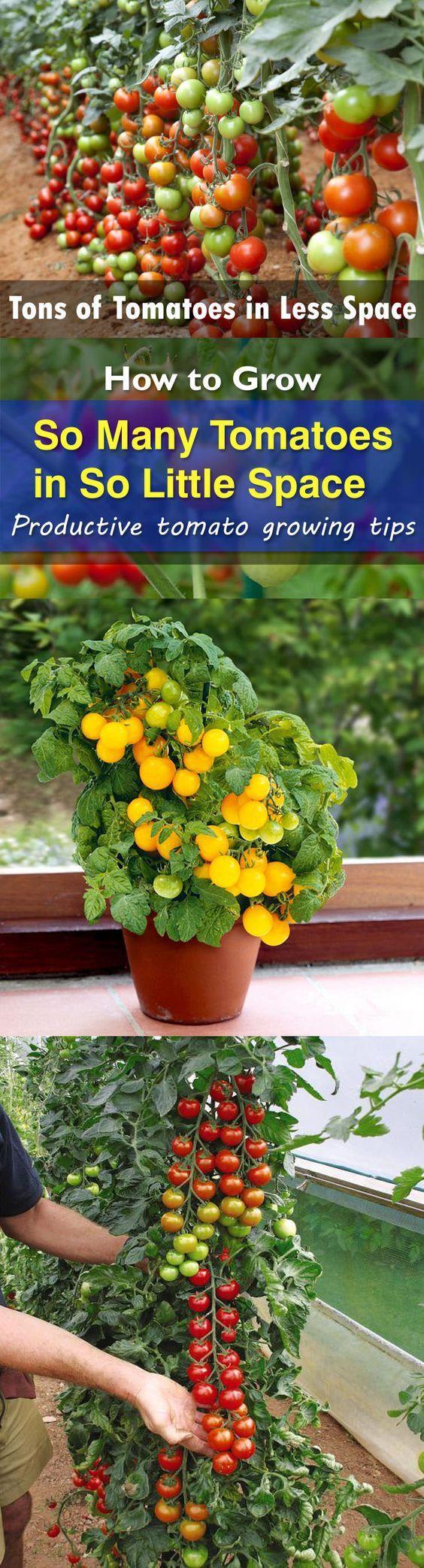 Qual é a melhor maneira de crescer tomates para obter tantos em tão pouco espaço?  Você quer saber com certeza.  Nestes 23 dicas, você vai descobrir como fazer isso.