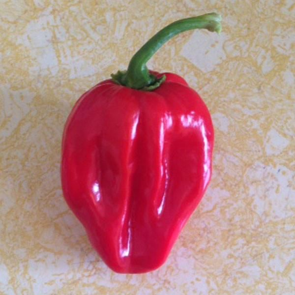 This world champion hottest pepper is an interesting 3-way cross of Naga Morich, Bhut Jolokia & Trinidad Scorpion. Incredibly HOT! Free seeds with every order!