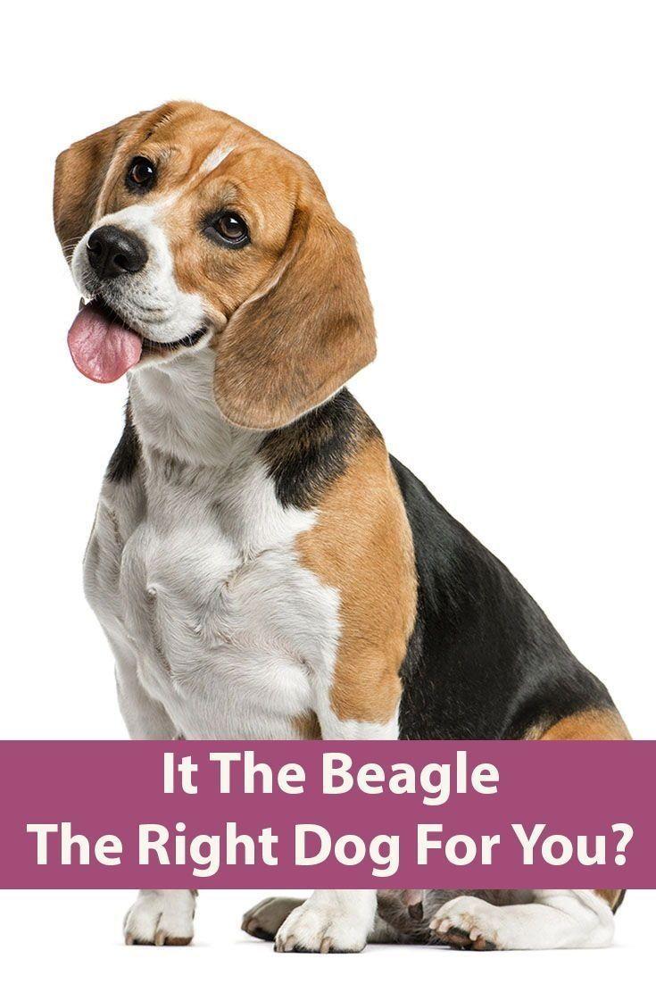Pin By Tami T Crutcher On Beagle Beagle Dog Beagle Dog Breed Dogs