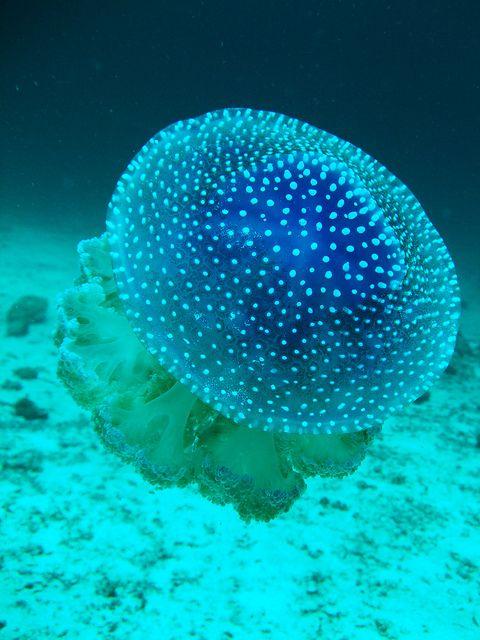 White Spotted Jellyfish by winkelmander, via Flickr