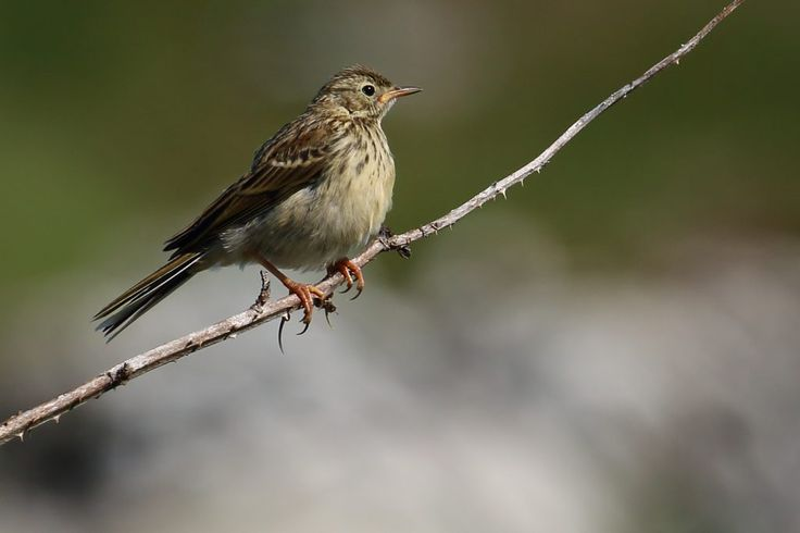 Juvenile Meadow Pipit Anthus pratensis by Ken Billington http://focusingonwildlife.com/news/wildfocus/featured/meadow_pipit_01/