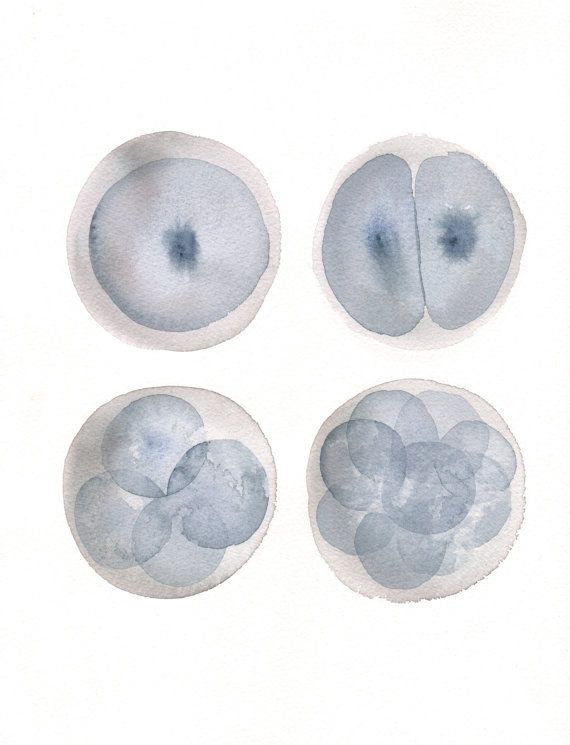 watercolor painting print stages of a zygote by RanchoParadiso found on Etsy- might be posting on our (new store link) EmbryosAlive.com