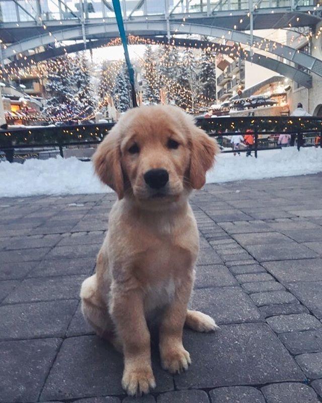 Charlie ~ Golden Retriever Pup ~ Classic Look & Trim