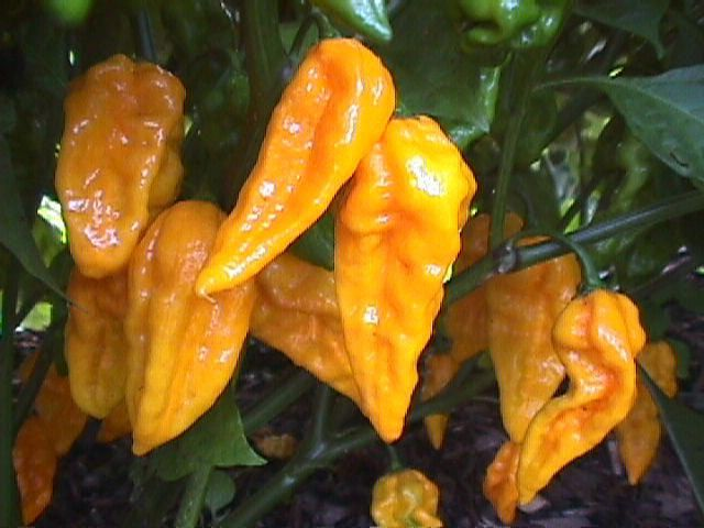 Chilli Yellow Devils Tongue, Capsicum chinense Chillihttp://www.chileseeds.co.uk/hot_chili_pepper_seed.htm