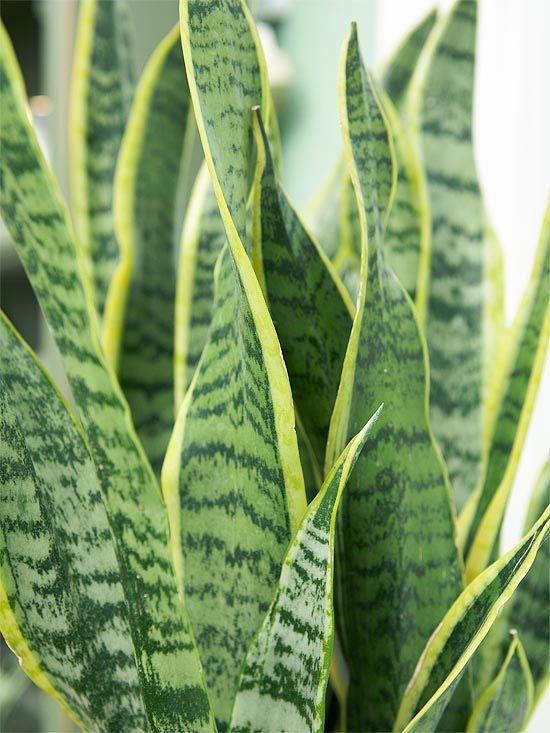 Snake Plant  Snake plant (Sansevieria trifasciata), also sometimes called…