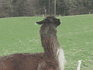 Yeahhhhh I'm a lama again! Haha