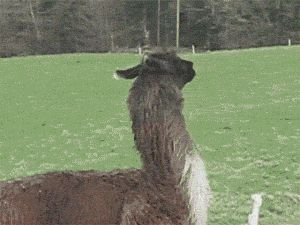 Just A Happy Jumping Llama
