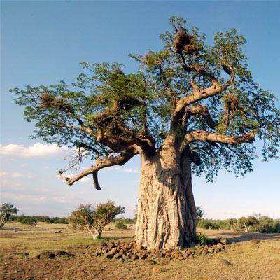 Baobab το φρούτο της ζωής
