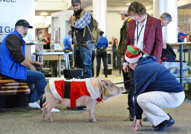 COLONIE -- The canine ambassadors at Albany International Airport got a new recruit on Wednesday — a 101-pound pot-bellied pig. The pig, with the unlikely name of Bacon Bits, took part in a morning ceremony before beginning his patrol in the terminal.