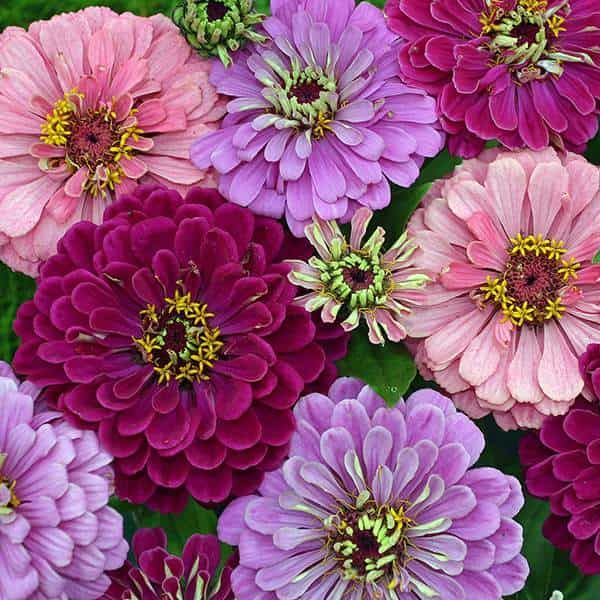 Art Deco Zinnias - huge, 5-inch blooms in bold shades of pink, lavender, red, and royal purple. They make dramatic, long-lasting cut flowers. Plants grow 2-3 feet tall.
