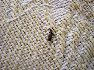 Έντομα που προσβάλουν το σιτάρι