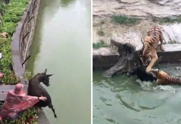Keji!Kebun Binatang Ini Pertontonkan Harimau Mangsa Keledai Hidup