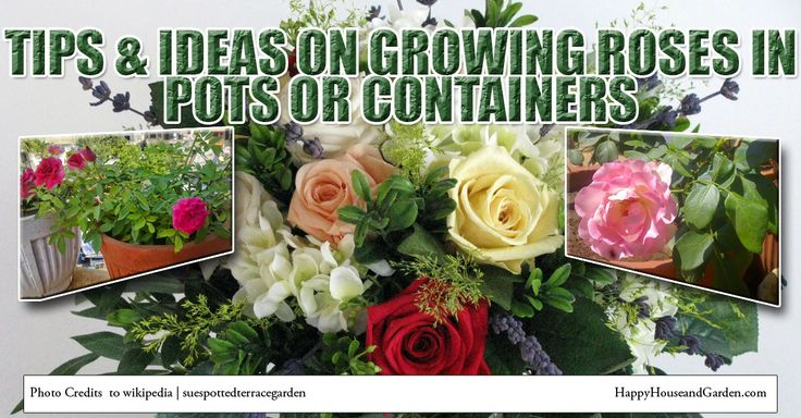Tips & Ideas on Growing Roses In Pots or Containers
