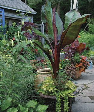 Overwintering specialty plants, like bananas, means big savings for your wallet and big displays for your garden.