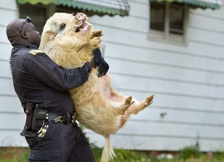 Truly Amazing Picture Of A Pig Getting Caught By The Cops: A pig was found roaming Greensboro, North Carolina on Thursday. They have no idea where it came from. All of that doesn't matter though, because we have this picture: