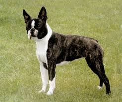 adult boston terrier - Google Search