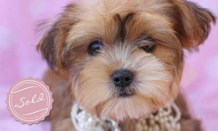 Morkies by Teacup Puppies for sale