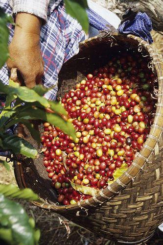 harvesting Kona coffee beans, Big Island, Hawaii