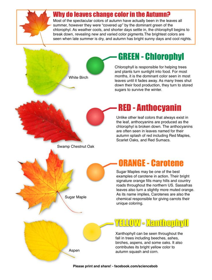 A great primer to answer the question 'Why do leaves change color in the fall?' from Science Bob