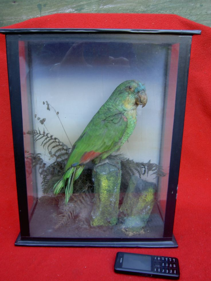 c1900 Amazon Green Parrot Taxidermy