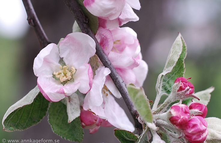 Appleblossom in my  garden