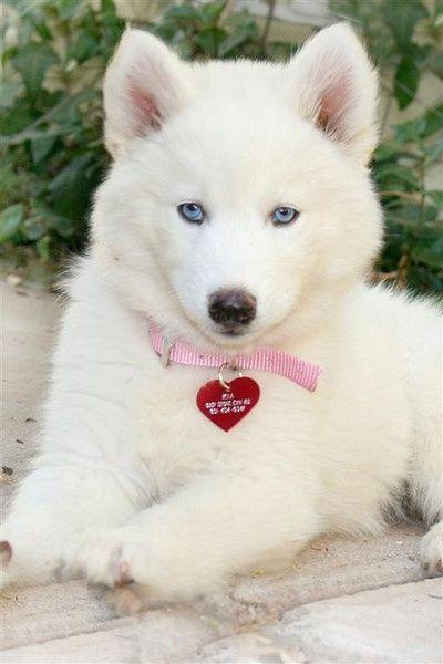 Filhote branquinho, de olhinhos azuis ♥