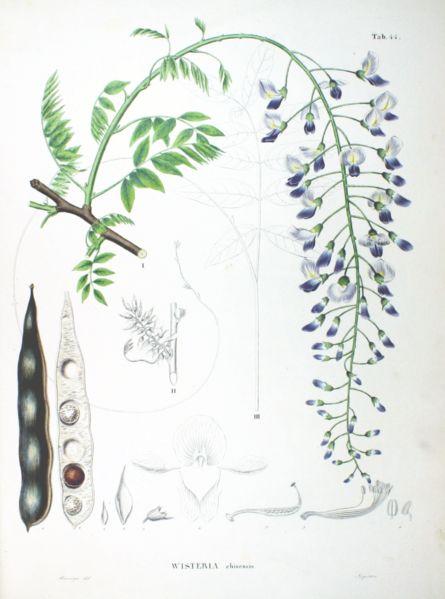 GLICINIA  http://www.biolib.de