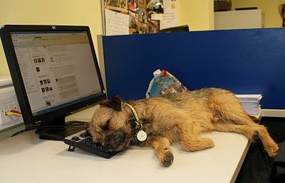 Border Terrier 'helping' with work stuff :)