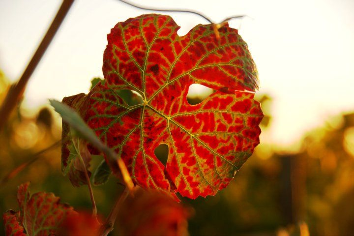 September & Harvest time at #HerdadeSãoMiguel Winery and Vineyards