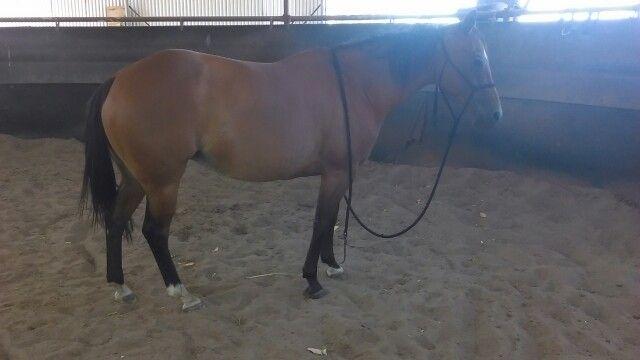 8/1/15 wotking my fat quarterhorse  love her to bits ❤