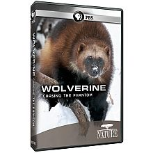 Wolverine: Chasing the Phantom - This sixty-minute HD film for Nature will take viewers into the secretive world of the largest and least known member of the weasel family to reveal who this dynamic little devil truly is. Hard-wired to endure an environment of scarcity, the wolverine is one of the most efficient and resourceful carnivores on Earth.