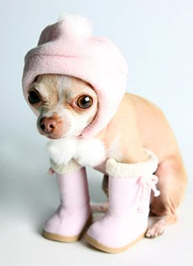 chihuahuas in costumes - Google Search