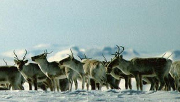 Reindeer, Hardangervidda, Norway. www.inatur.no/storviltjakt/53c57229e4b091786eb1b52d/reinsjakt-pa-hardangervidda | Inatur.no